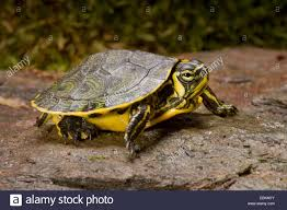 Texas Map Turtle Yellow Bellied Turtles Stock Photos U0026 Yellow Bellied Turtles Stock