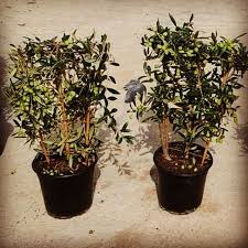 108 best olive trees for sale free delivery in mainland u k