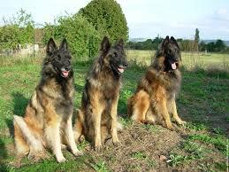 belgian shepherd for sale south africa belgian shepherd tervuren dogs breeds pets