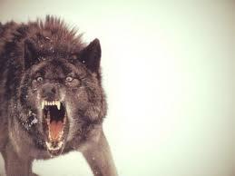 Crazy Wolf Meme - create meme crazy wolf insanity wolf crazy wolf meme crazy