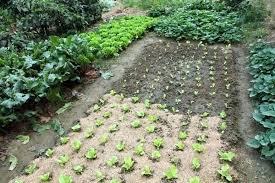 Rock Vegetable Garden Preventing Weeds In Garden Alexstand Club