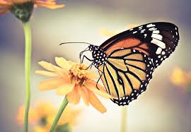butterfly flower butterfly on flower photograph by sam gellman photography