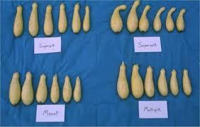 Squash Plant Diseases Pictures - summer squash production nc state extension publications