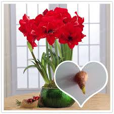 Amaryllis Flowers True Red Hippeastrum Rutilum Bulbs Not Hippeastrum Rutilum Seeds