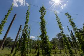 n j hops growers jump into trendy u0027farm to mug u0027 market