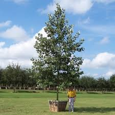 glen flora farms wholesale trees trees sycamore