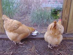 Backyard Chickens Com - chicken treat chart the best treats for backyard chickens