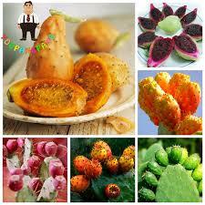 edible fruit 100 pcs prickly pear cactus sweet nutritious edible fruits
