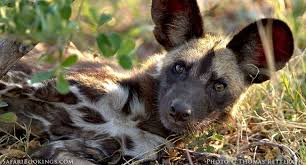 safari ltd african wild dog 5 fascinating facts about the african wild dog lycaon pictus