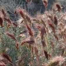 brome seed brome ornamental grass seeds