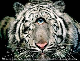 cyclops white tiger big cat rescue