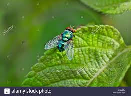 Resting Space Fly Fruit Fly Resting On Green Leaf In Bright Sunlight Copy