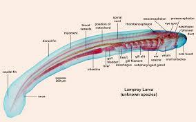 Heart External Anatomy Lamprey External Anatomy Choice Image Learn Human Anatomy Image