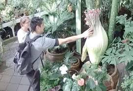 Order Flowers San Francisco - mystery man fondles famous u0027corpse flower u0027 in sf on live stream
