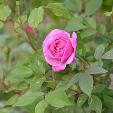 china with roses blush china rosa chinensis cv