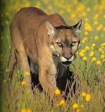 Cougars on rebound in us midwest after a century of decline big