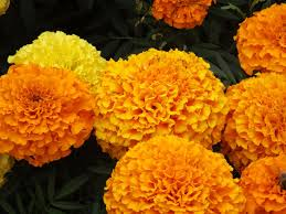 Shade Of Orange Names How To Grow Marigold Plants