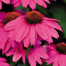 echinacea flower powwow berry coneflower