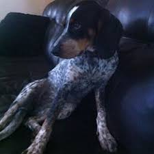 bluetick coonhound drool bluetick coonhound silhouette pillow need to get one for molly