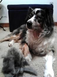 australian shepherd needs undercoat rake how to groom an australian shepherd