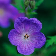purple and blue flowers perennial geranium