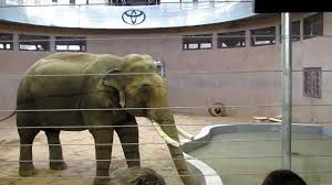 denver zoo toyota elephant passage youtube