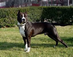 american stanford terrier y american pitbull terrier 115 best doqs images on pinterest animals puppies and dogs