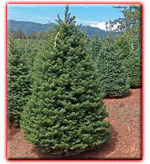 order oregon christmas trees online from los angeles christmas