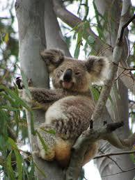 Angry Koala Meme - koala madang ples bilong mi