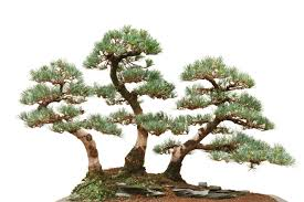 how to guide for bonsai trees