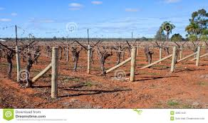 rows of vines canes rolled on t trellis stock photo image