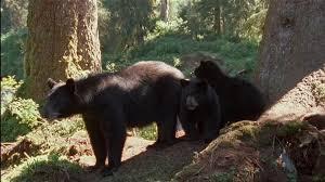 Alaska wild animals images American black bear wild animal alaska sd stock video 813 jpg