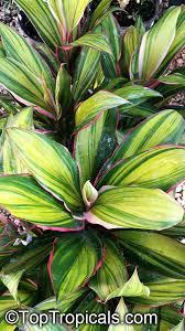 ti plant ti plant ti leaf click to see size image ti plant south