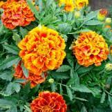 Flower Seeds Online - flower seeds online bulk u0026 packets for sale non gmo