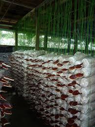 dxn ganoderma farm cultivation process of full biological
