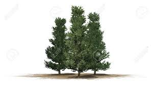 fraser fir tree fraser fir trees isolated on white background stock photo picture