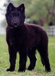 belgian sheepdog short hair australian dog breeds gallery dog breeds pedigree