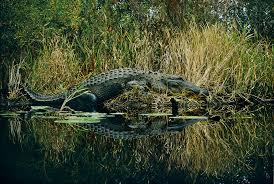ask your weird animal questions alligators and regenerators