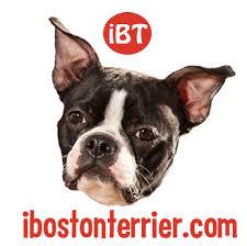 selling car for 1 7 million uses boston terrier