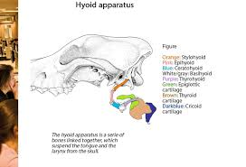 Dog Anatomy Heart Hyoid Apparatus Of A Dog Ovam