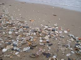 where to buy seashells seashell