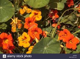 nasturtium flowers orange nasturtium flowers are edible and grow on a vine covering