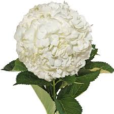 white hydrangeas fresh flowers white hydrangeas 40 stems walmart