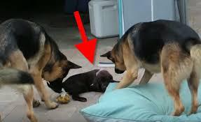 watch labrador puppy meets german shepherd