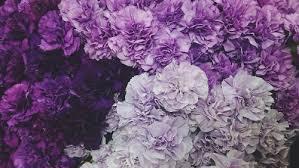 purple carnations purple carnation