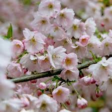 buy ornamental cherry prunus pandora delivery by crocus