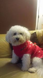 2 month old bichon frise 50 shades of bichon frise the inspiration edit