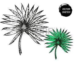 vector illustration of palm tree leaf sketch for design palm