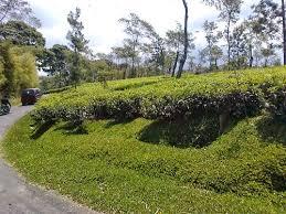 Teh Rolas Wonosari agro wisata kebun teh wonosari malang jawa timur