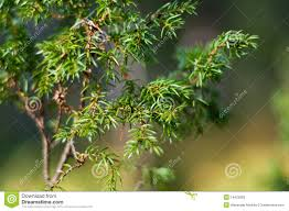 juniper shrub up stock photo image of ornamental 16423828